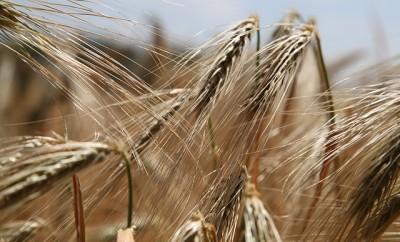 wheat-809441_640